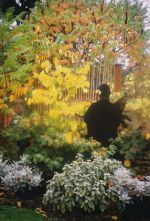 The warm hues of yellow take center stage in the fall garden, here golden foliage provides a backdrop to a black silhouette