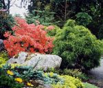 Orange deciduous azalea