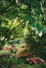 Handkerchef tree or ghost tree (Davidia involucrata).  This heritage tree was popular at the Chelsea 2004 Garden show