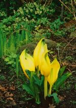 Native skunk cabbage (lysichton americanus), (the use of native plants being a continuing trend for 2005)